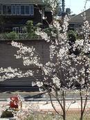 photo - Sakura, 2004